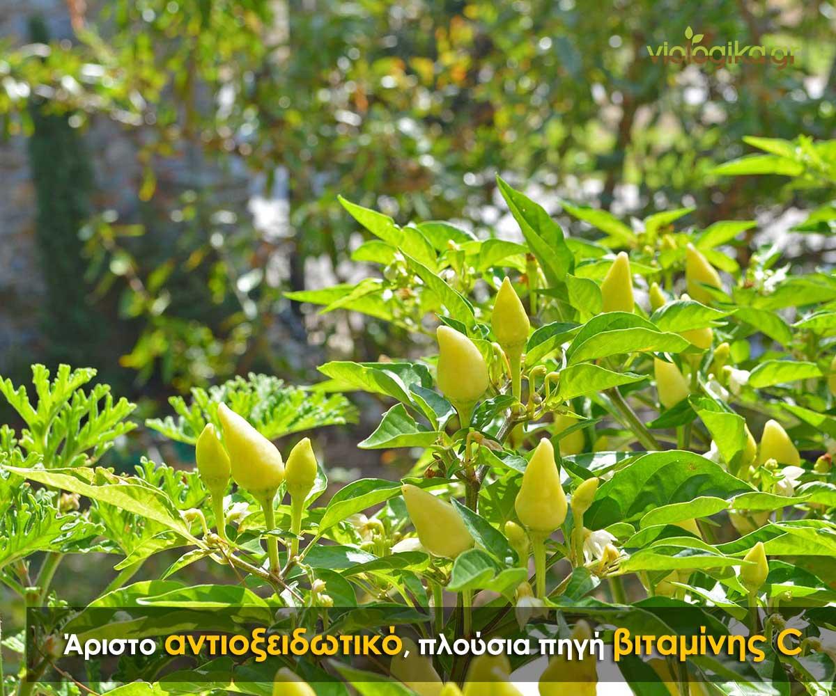 Φυτό πιπεριάς σε ανάπτυξη