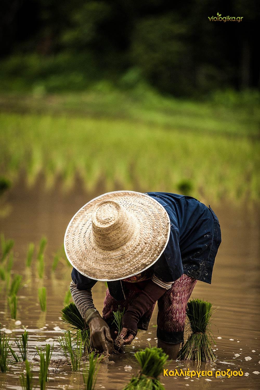 Καλλιέργεια ρυζιού