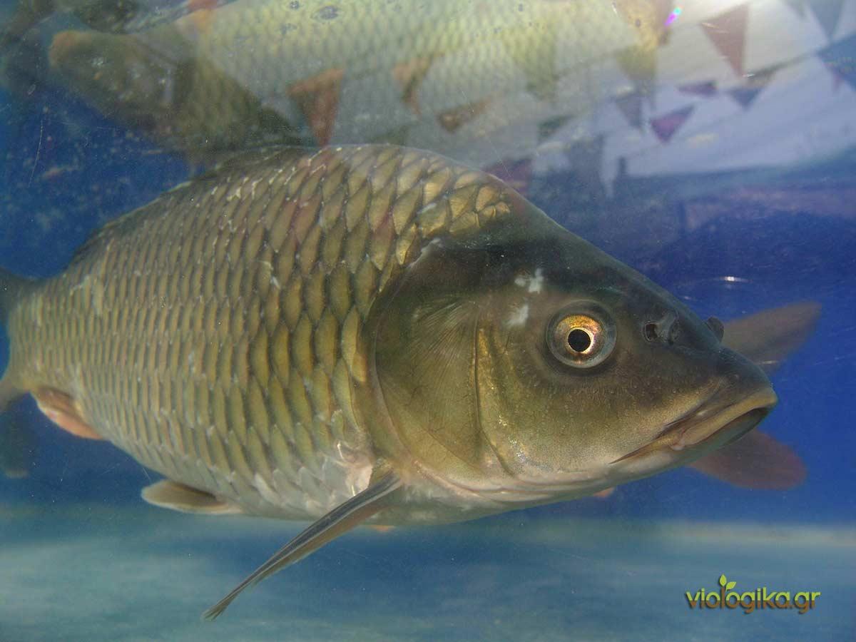 Λίπανση νερού από 100% οργανικό λίπασμα ψαριών