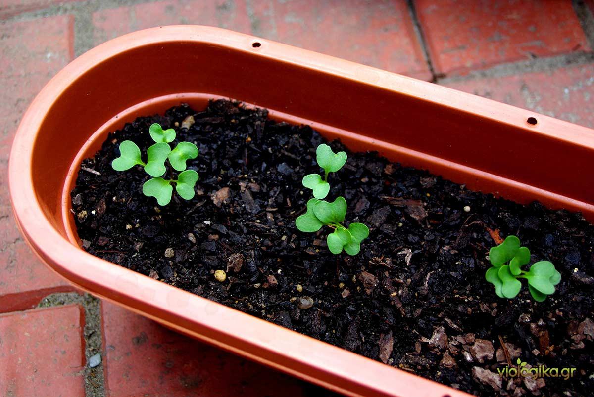 Φύτεμα λαχανικών και αρωματικών σε γλάστρες