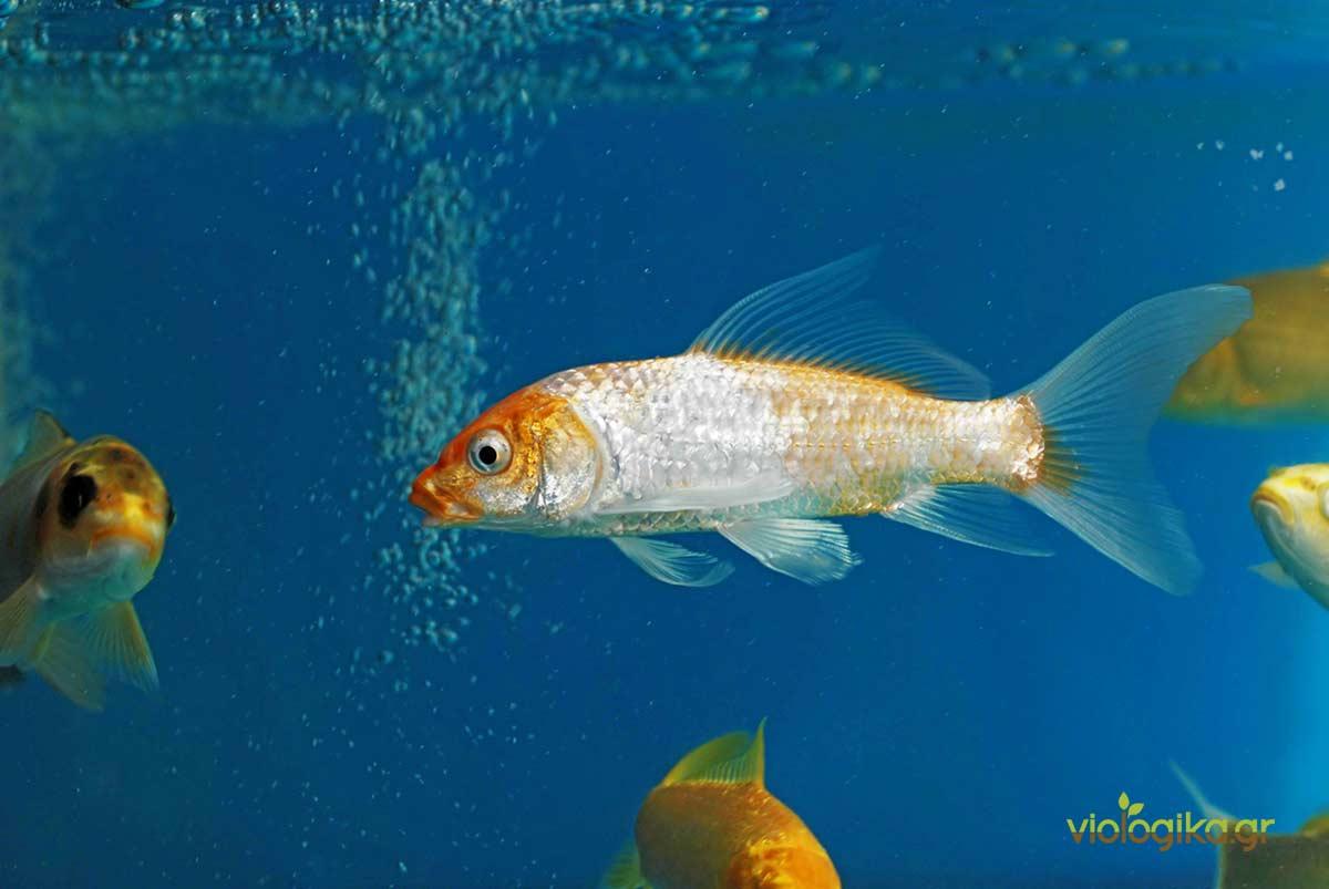 Η σωστή επιλογή ψαριού σε ένα σύστημα ακουαπονικής (ενυδρειοπονίας) είναι πολύ σημαντική