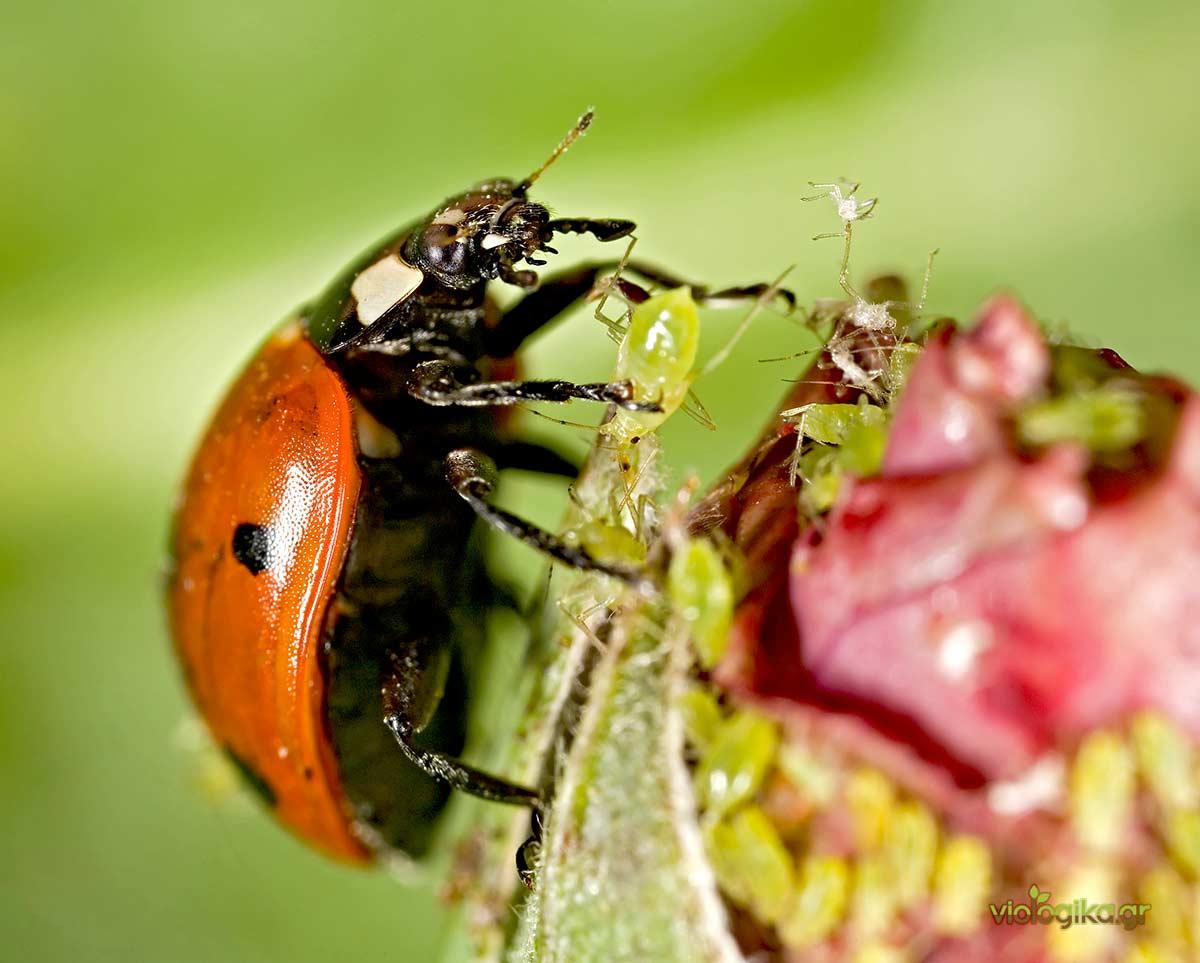 Βιολογική καταπολέμηση βλαβερών εντόμων με την κοκκινέλα (ή πασχαλίτσα)