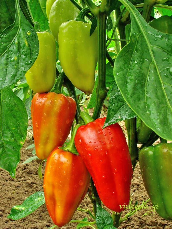 Κόκκινες και πράσινες βιολογικές πιπεριές στον κήπο