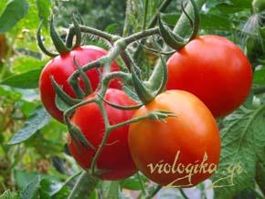 Βιολογική σαλάτα με ντομάτες και μαρούλι