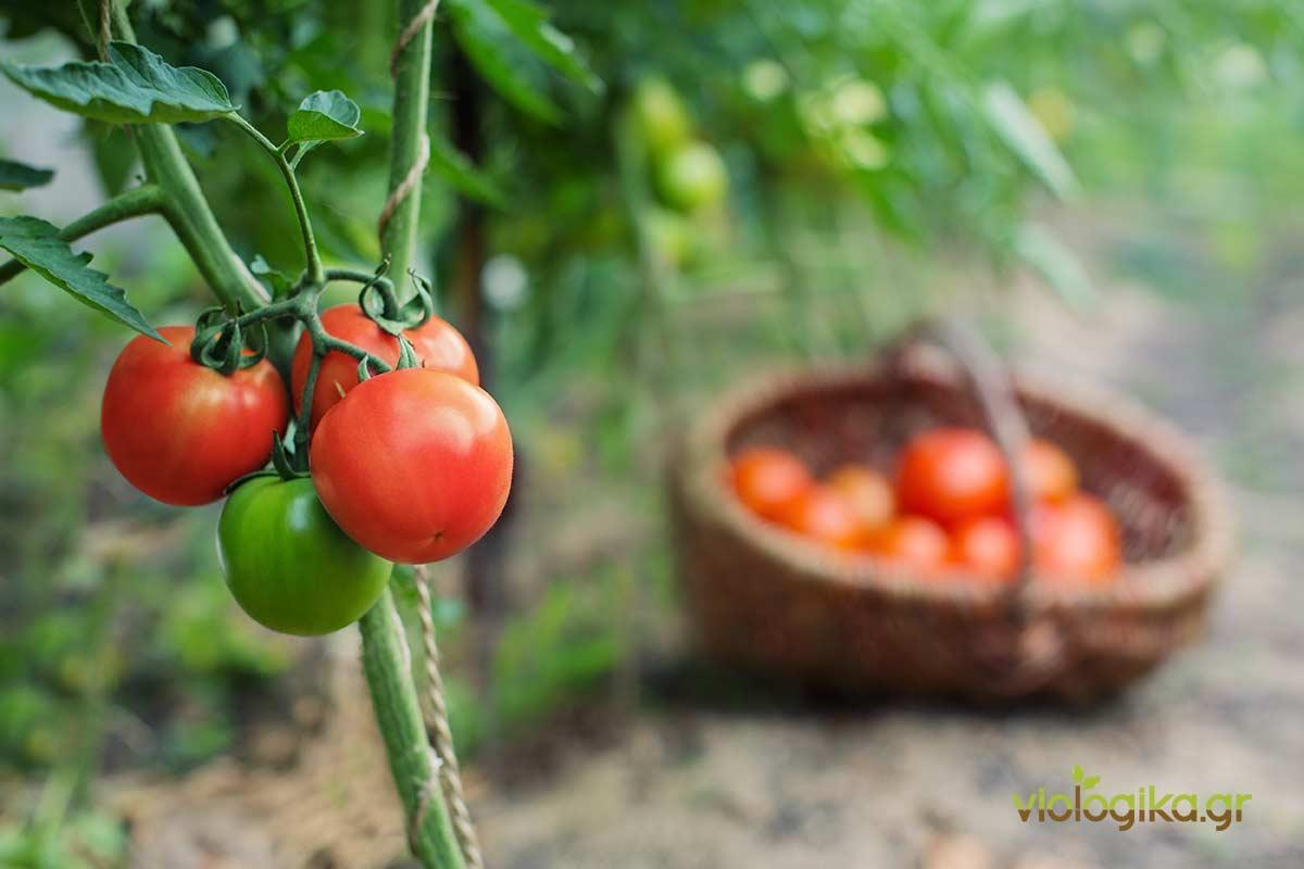 Βιολογική καλλιέργεια ντομάτας