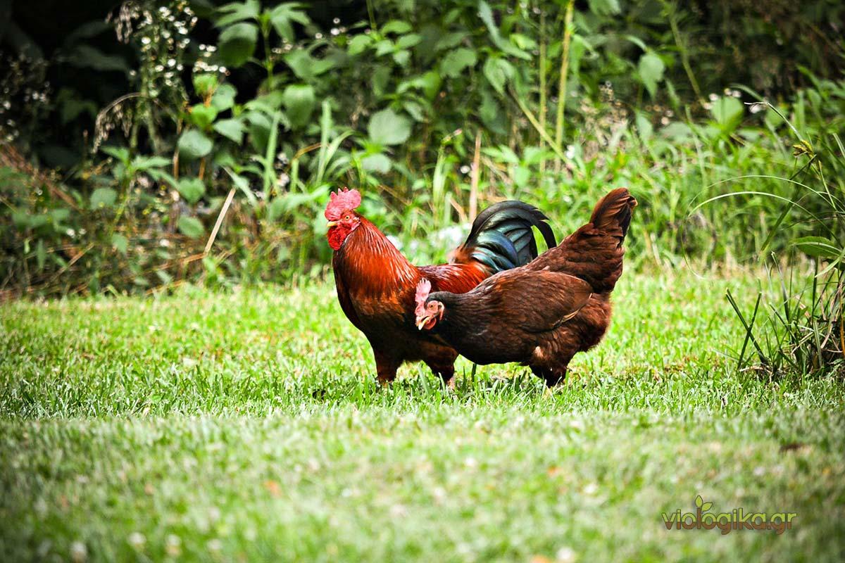 Βιολογικό κοτόπουλο ελευθέρας βοσκής, τιμή αγοράς