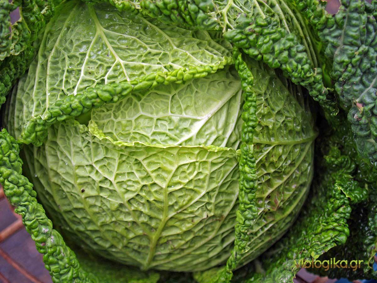 Βιολογική καλλιέργεια Λάχανου Μιλάνου