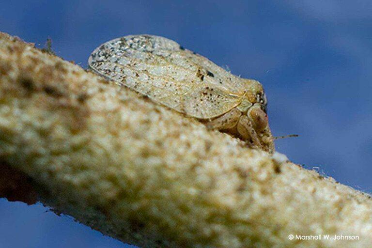 Βαμβακάδα ελιάς (Euphyllura olivina)