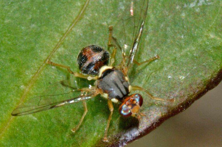 Δάκος (Bactrocera oleae ή Dacus oleae)