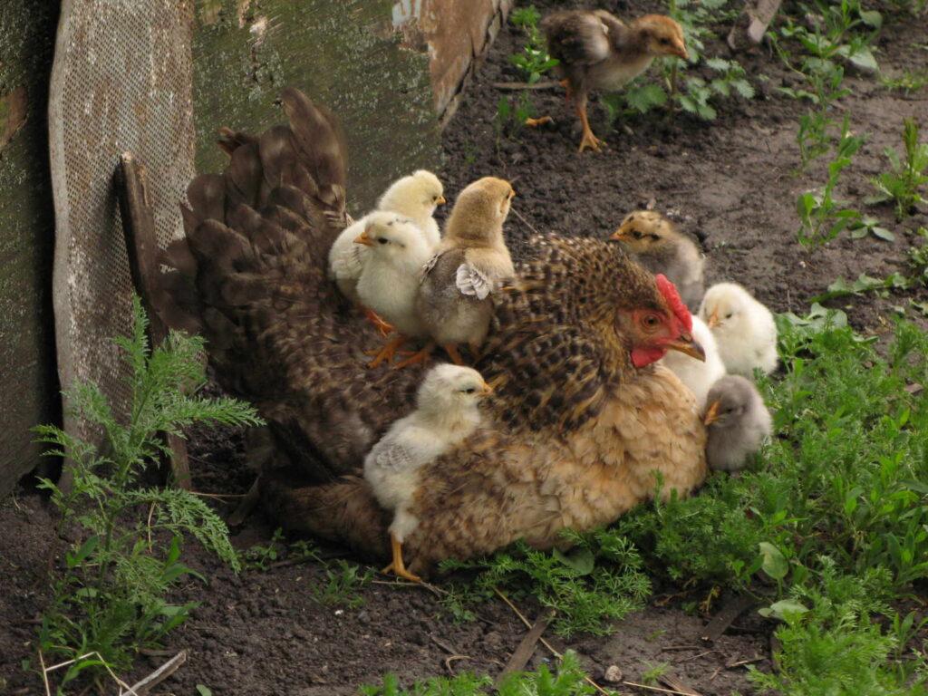 Βιολογικό κοτόπουλο