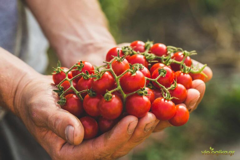 Γιατί οι ντομάτες της αγοράς δεν έχουν γεύση και άρωμα;