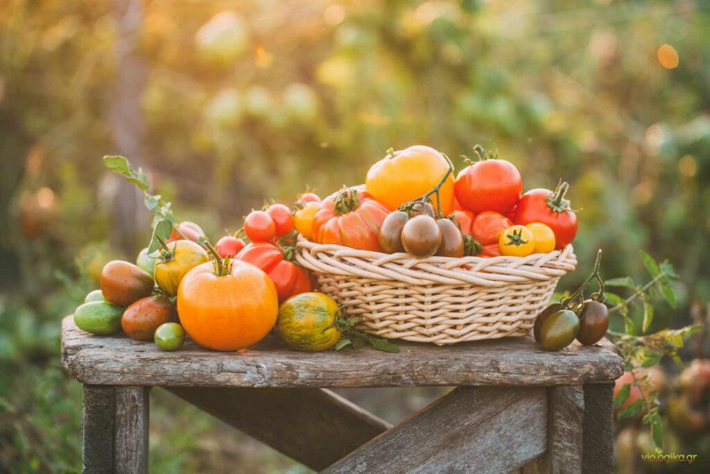Βιολογικές και μεταλλαγμένες ποικιλίες ντομάτας