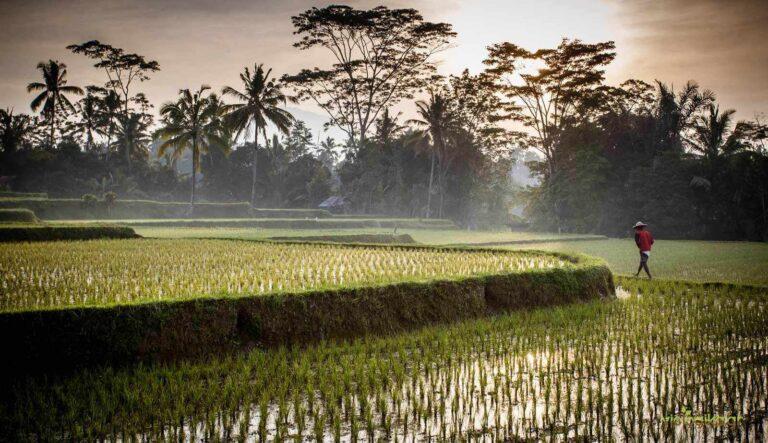 Υψηλά Επίπεδα Αρσενικού στο Ρύζι