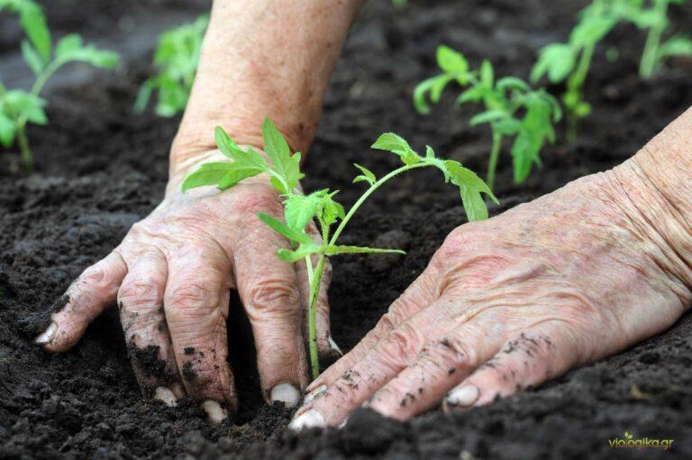 Σπορά και φύτεμα βιολογικής ντομάτας